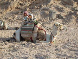 velbloud, Egypt